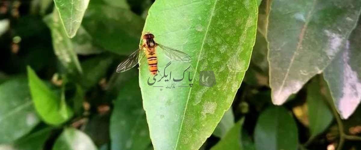 khera phal makhi
